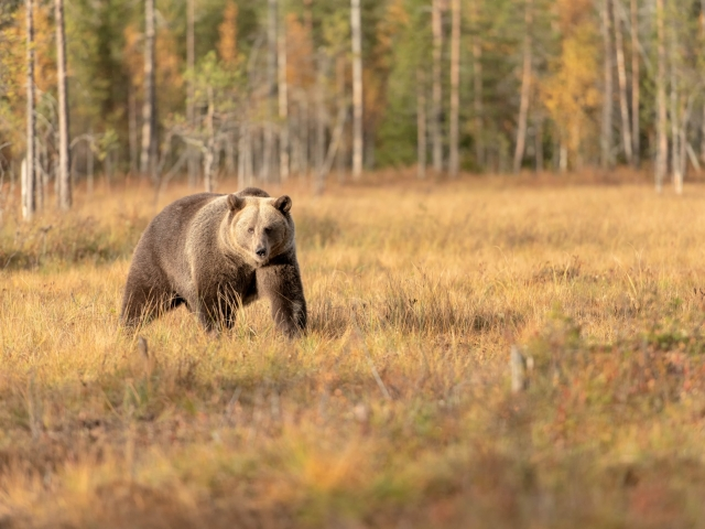 Eurasian Brown Bear - Aware