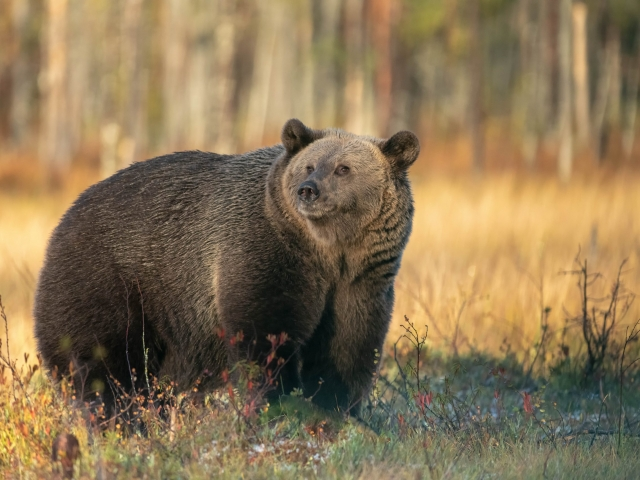 Eurasian Brown Bear - Golden Light