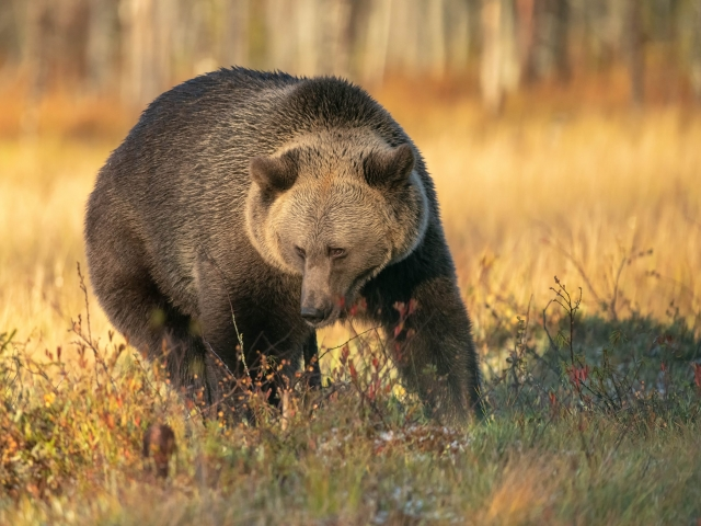 Eurasian Brown Bear - Golden Sage