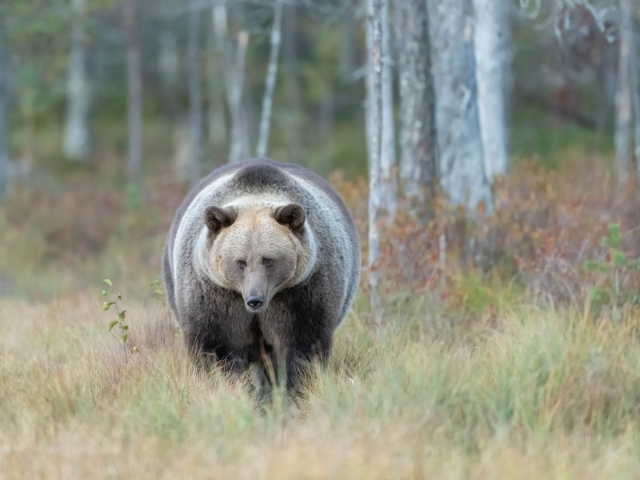 Eurasian Brown Bear - Big Fellow