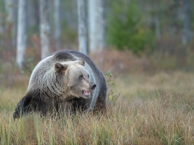 Eurasian Brown Bear - Cautious Glance