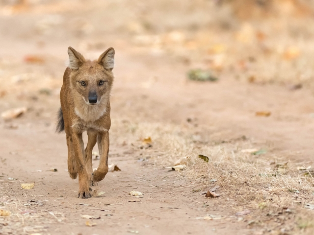 Wild Dog - Lone Runner