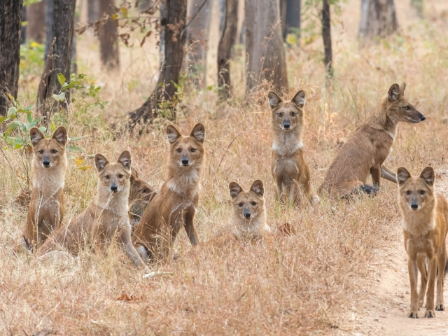 Wild Dog - The Pench Pack