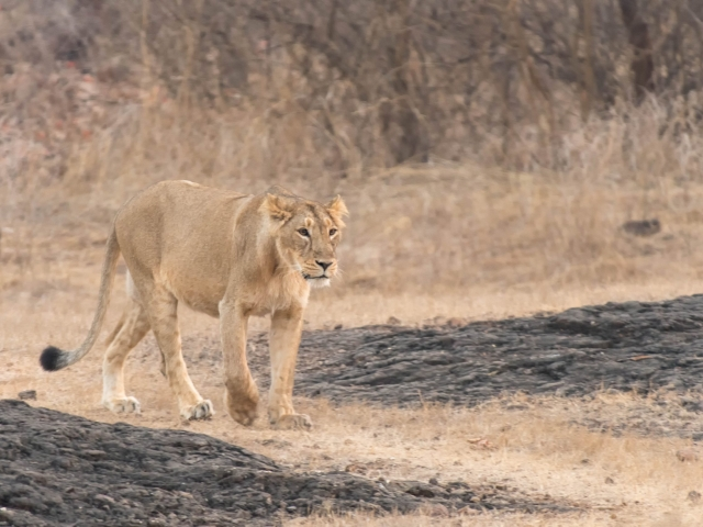 Asiatic Lion - Walk on the Wild Side