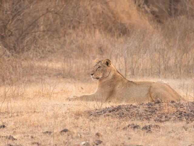 Asiatic Lion - Resting in the Grass