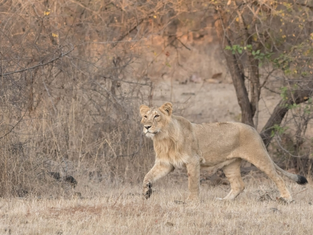 Asiatic Lion - Quick March