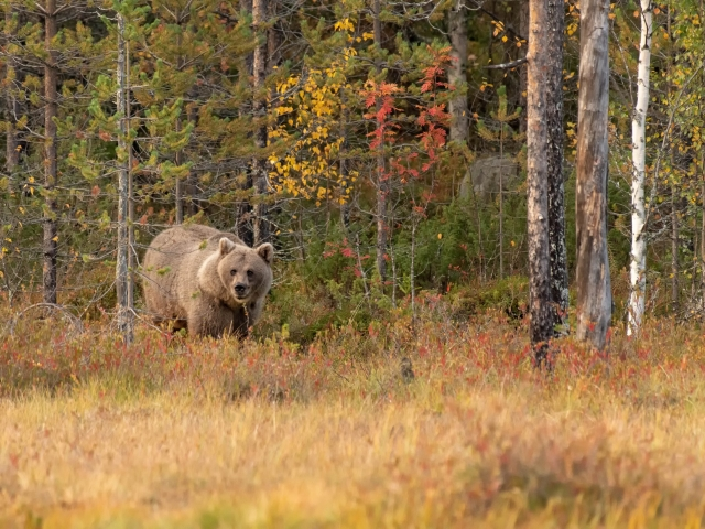 Eurasian Brown Bear - Autumn Appearance