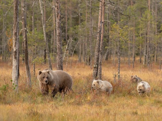 Eurasian Brown Bear - Mother and the Cubs
