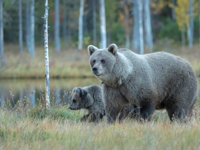 Eurasian Brown Bear - Mum and Cub