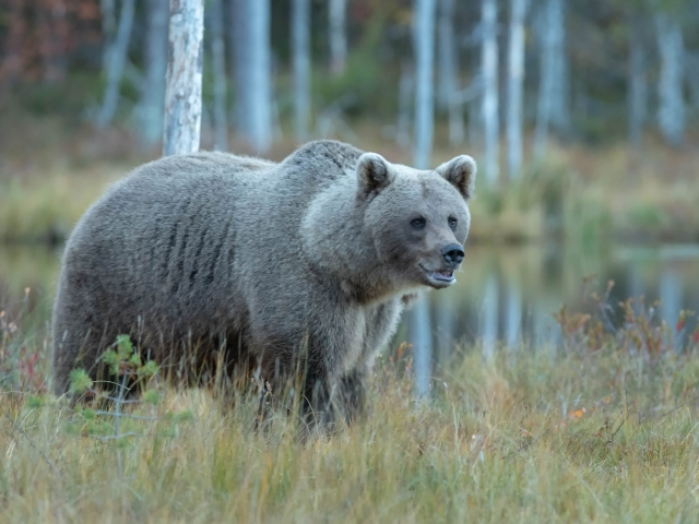 Eurasian Brown Bear - Grey Bear