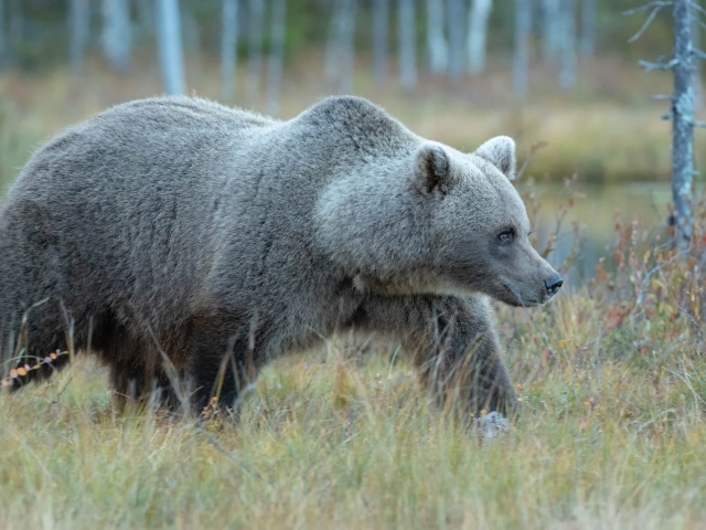 Eurasian Brown Bear - On The Prowl