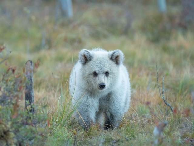 Eurasian Brown Bear - Curious Cub