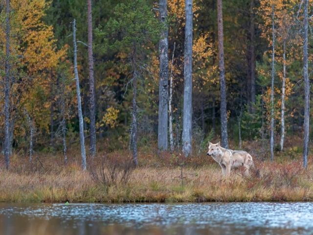 Eurasian Wolf - Serenity