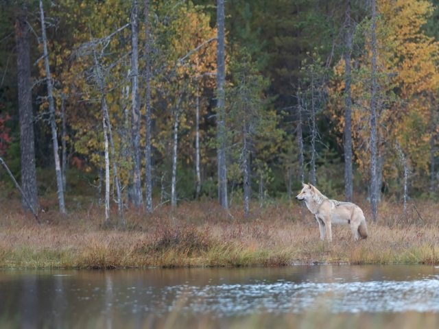 Eurasian Wolf - Listening