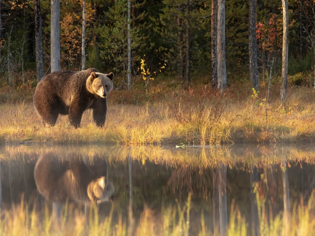 Eurasian Brown Bear - Reflection