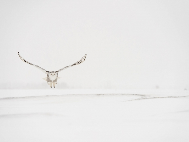 Snowy Owl - Snow Ripples