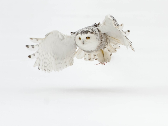 Snowy Owl - With Prey