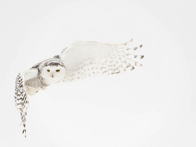 Snowy Owl - Silent Flutter