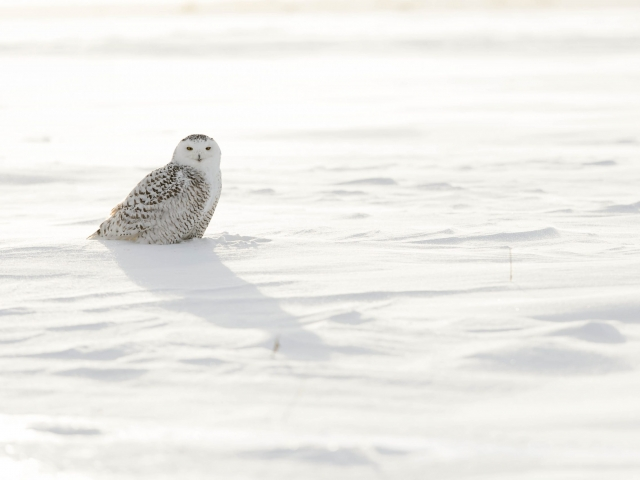 Snowy Owl - Resting in Evening Light