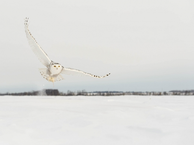 Snowy Owl - The Early Owl Gets the Mouse