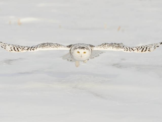 Snowy Owl - Gliding Low