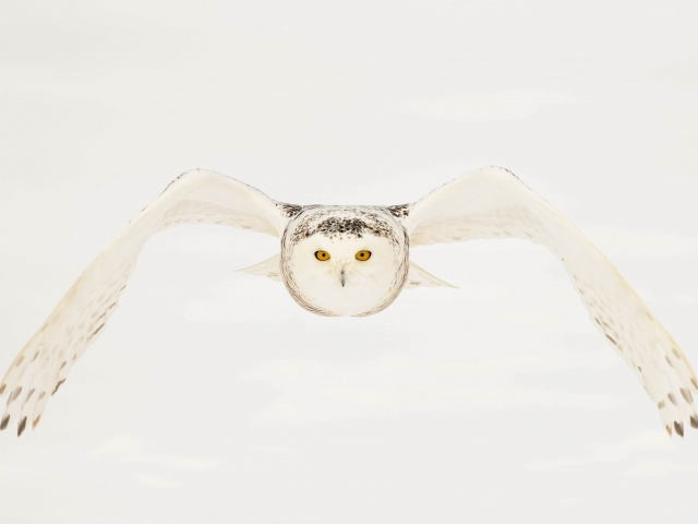 Snowy Owl - Symmetry In Flight