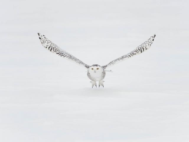 Snowy Owl - Talons Down