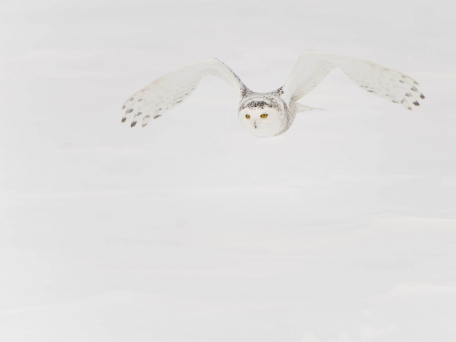 Snowy Owl - Gliding
