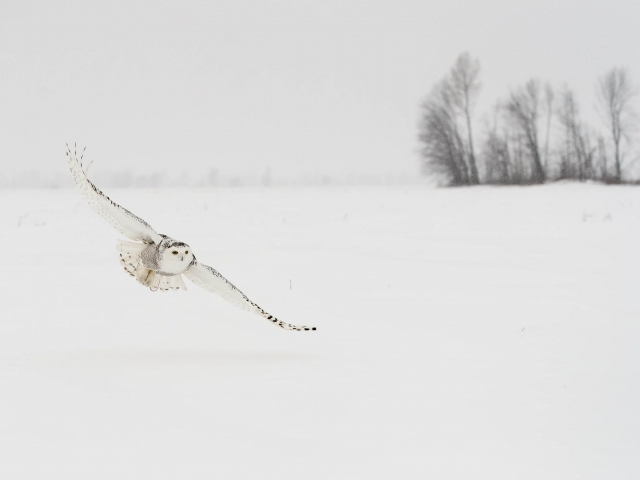 Snowy Owl - Prey Clutched in Talons