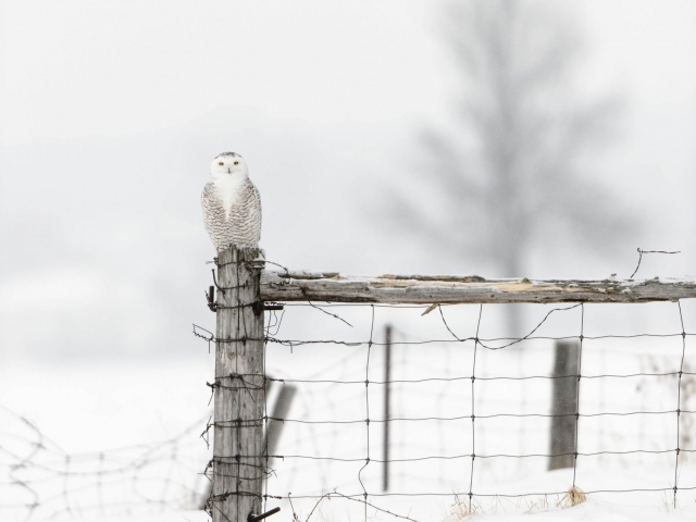 Snowy Owl - Perching with Tree Silhouette