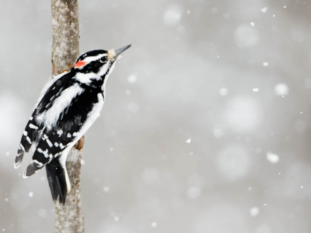 Hairy Woodpecker in Snowfall
