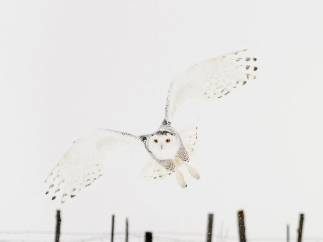 Snowy Owl - Angel Wings