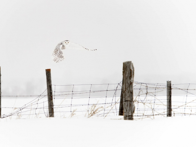 Snowy Owl - Take Off