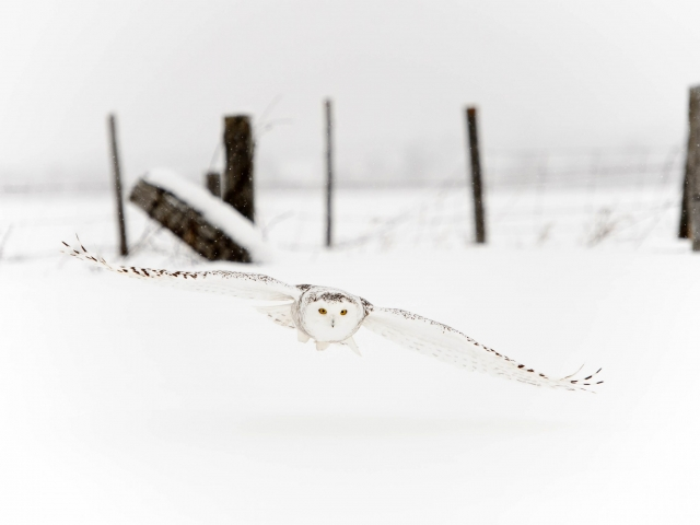 Snowy Owl - Swooping for Prey