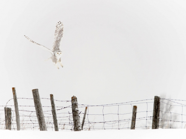 Snowy Owl - Fence Take Off