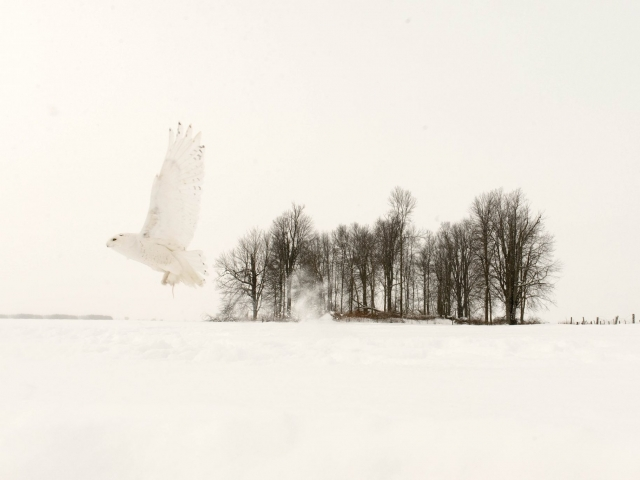 Snowy Owl - Dream Sequence