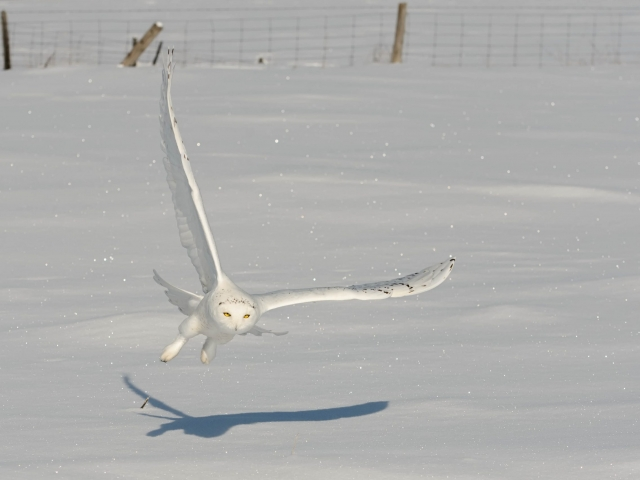Snowy Owl - Male Swooping Low