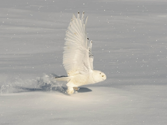 Snowy Owl - Male Touch Down