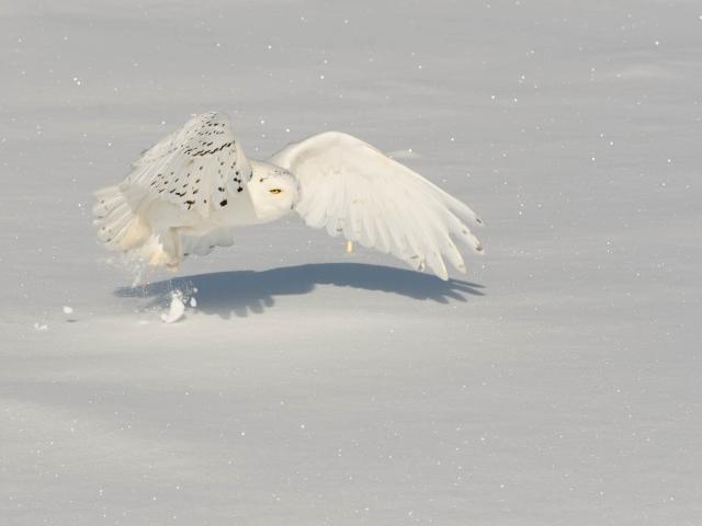 Snowy Owl - Male Gliding