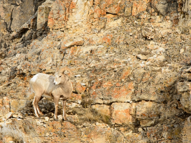 Big Horn Sheep on Cliff