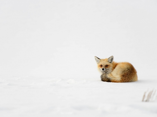 Red Fox - Woken Up