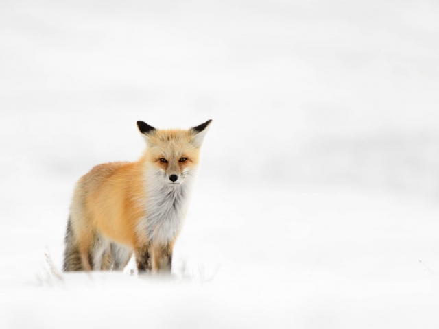 Red Fox - On Alert