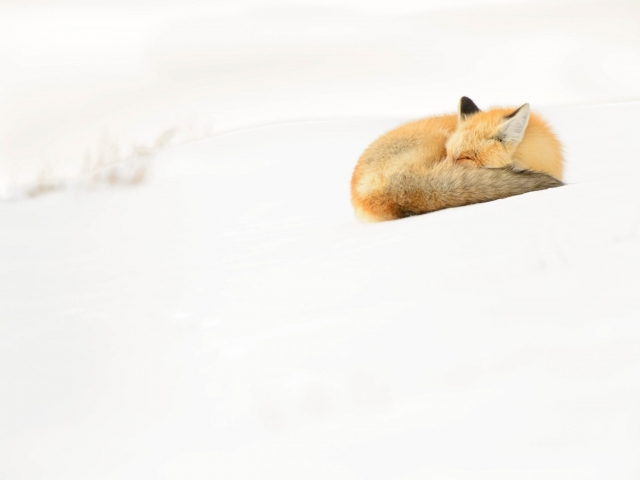 Red Fox - Sleeping