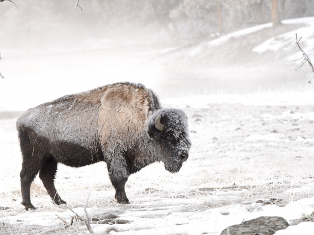 Bison In the Morning Frost