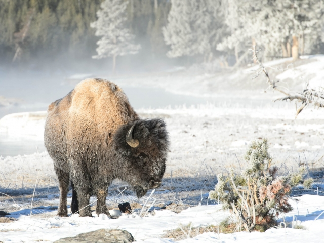 Bison - Frosty Morning