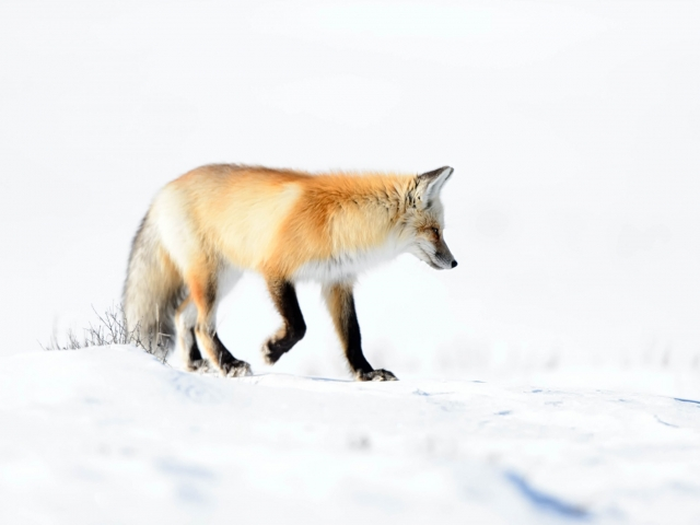 Red Fox - On a Mission