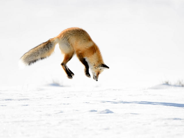 Red Fox - Hunting II