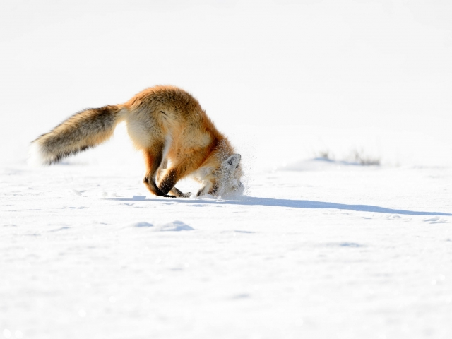 Red Fox - Hunting V