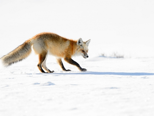 Red Fox - Prowl