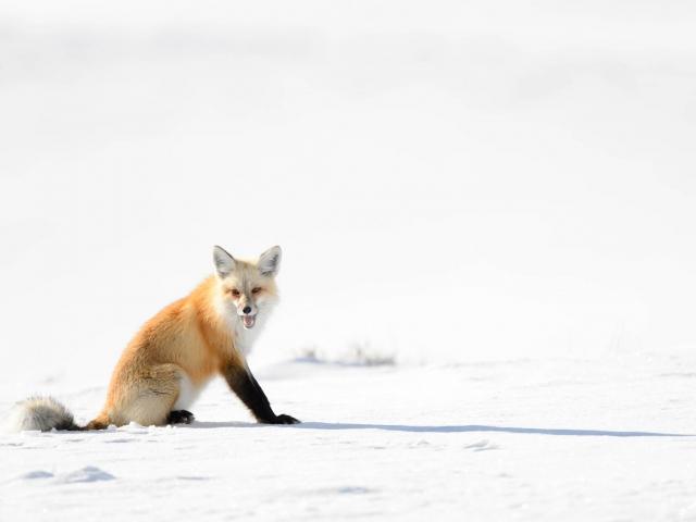 Red Fox - Sneer